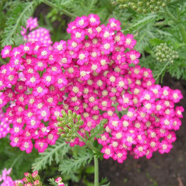, Achillea millefolium `Cerise Queen`, Eulenhof - Staudengärtnerei