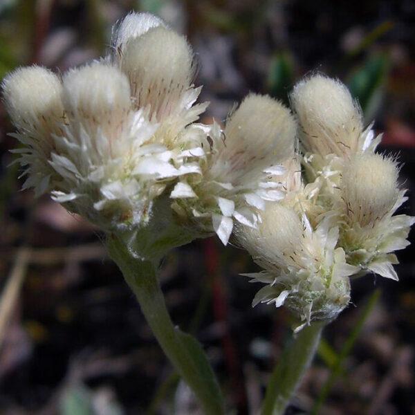 , Antennaria parviflora, Eulenhof - Staudengärtnerei