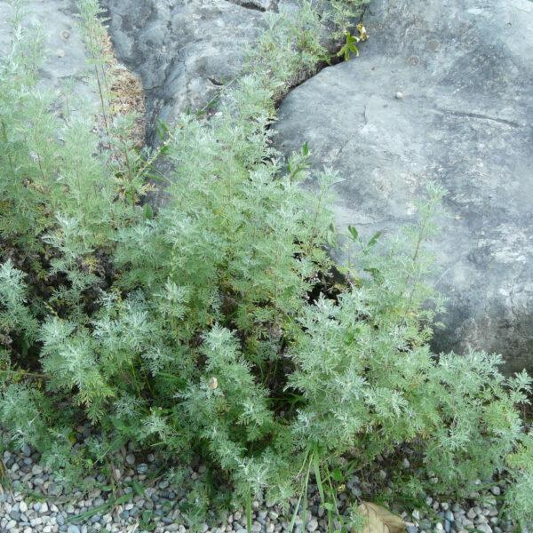 , Artemisia pontica, Eulenhof - Staudengärtnerei