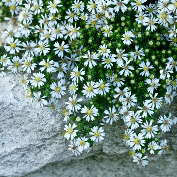 , Aster pansus `Snow Flurry`, Eulenhof - Staudengärtnerei