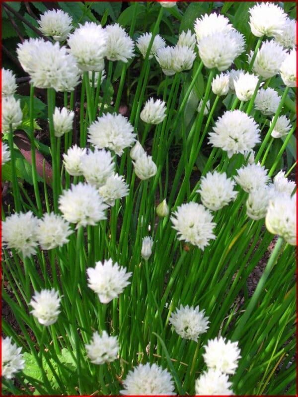 , Allium schoenophrasum `Album`, Eulenhof - Staudengärtnerei