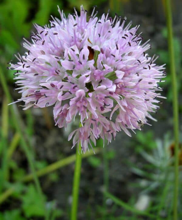 , Allium  nutans, Eulenhof - Staudengärtnerei