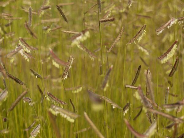 , Bouteloua gracilis, Eulenhof - Staudengärtnerei