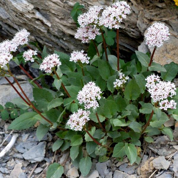 , Valeriana montana (heimisch), Eulenhof - Staudengärtnerei